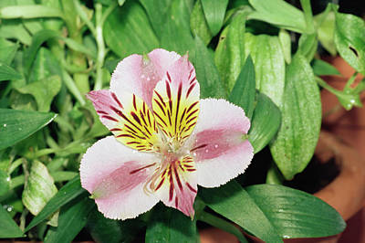 Peru Photograph - Peruvian Lily (alstroemeria 'princess') by M F Merlet/science Photo Library