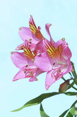 Peru Photograph - Peruvian Lily (alstroemeria Sp.) by Brian Gadsby/science Photo Library