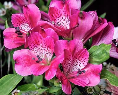 Peru Photograph - Peruvian Lily (alstroemeria Tessa') by Brian Gadsby/science Photo Library