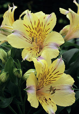Peru Photograph - Peruvian Lily by Archie Young/science Photo Library