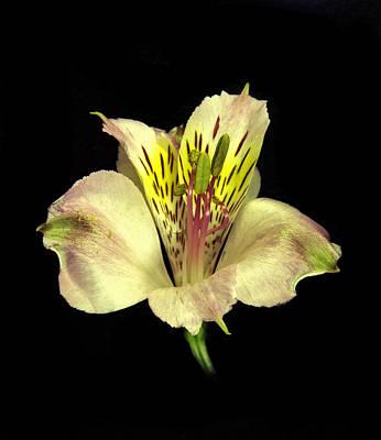 Peruvian Lily. Art Print