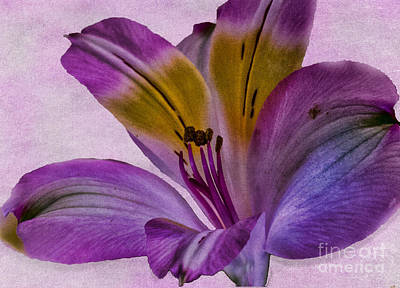 Photograph - Peruvian Lily Rich Purple by Sandra Clark