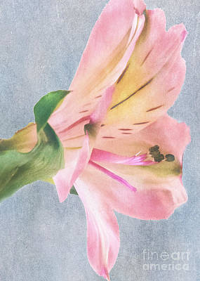 Photograph - Peruvian Lily Soft And Pink by Sandra Clark