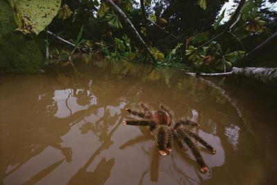 Wildlife Disasters Photograph - Peruvian Pinktoe Tarantula Peru by Mark Moffett