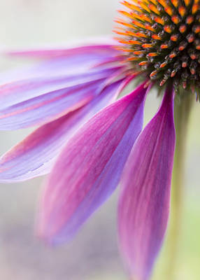 Coneflower Photograph - Petal Pink by Caitlyn  Grasso