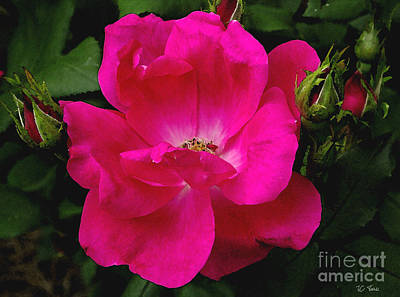 Photograph - Petals Of A Rose by James C Thomas