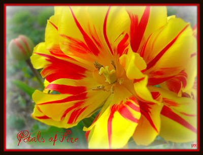 Photograph - Petals Of Fire by Heidi Manly