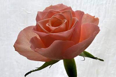 Petals Of Pink Original