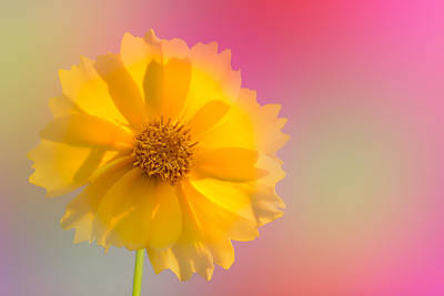 Petals Of Sunshine Art Print