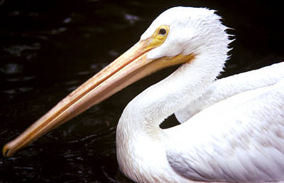 Photograph - Peter The Pelican by Robert  Rodvik