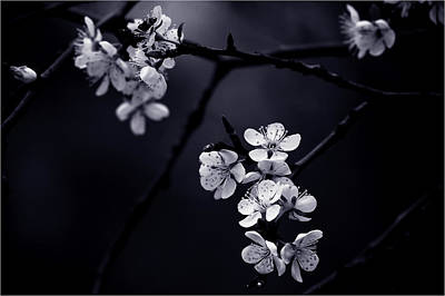 Cherry Flowers Photograph - Petite Fleur De Mes Nuits by Celinem