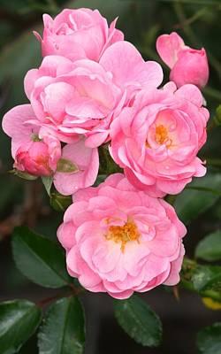 Photograph - Petite Pink Roses by Phoenix De Vries