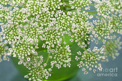 Photograph - Petite Queen Anne's Lace by Terry Ellis