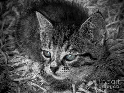 Photograph - Petite Tabby  by Karen Lewis