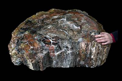 Triassic Photograph - Petrified Wood Specimen by Science Photo Library