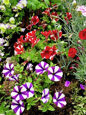 Petunias Photograph - Petunia Flowers by Ian Gowland