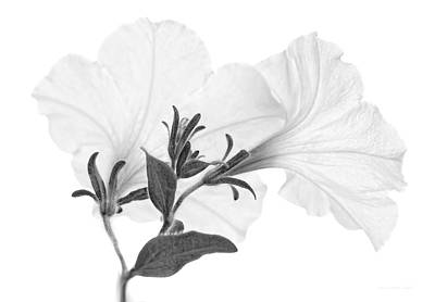 Photograph - White Petunia Flowers Monochrome by Jennie Marie Schell