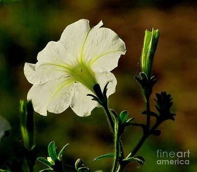 Marilyn Photograph - Petunia Passion by Marilyn Smith