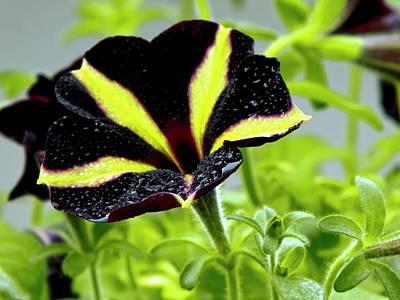 Hybrida Photograph - Petunia 'phantom' Flower by Ian Gowland