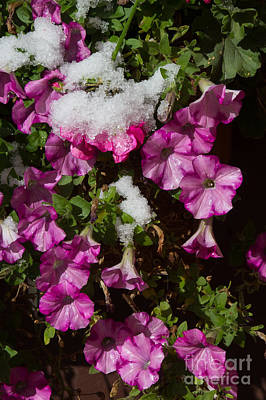 Photograph - Petunias On Ice by Jim McCain