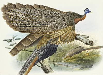 Pheasant Drawing - Phadianidae.  Argusianus Grayli by Daniel Girard Elliot