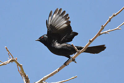 Photograph - Phainopepla by Alan Lenk