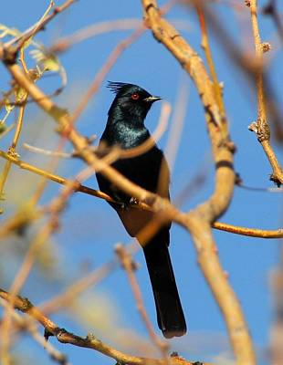 Photograph - Phainopepla by Cascade Colors