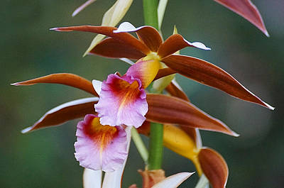 Phaius Tankervilliae Orchid Art Print