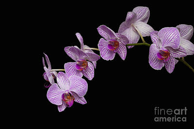 Photograph - Phalaenopsis  by Diane Macdonald