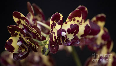 Fantasty Photograph - Phalaenopsis Florida Fantasy 'wow'   4303 by Terri Winkler