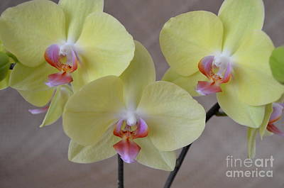 Wild And Wacky Portraits Rights Managed Images - Phalaenopsis Fullers Sunset Orchid on Lauhala Mat - No 1 Royalty-Free Image by Mary Deal
