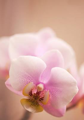 Phalaenopsis Photograph - Phalaenopsis 'nobby's Army' Flowers by Maria Mosolova