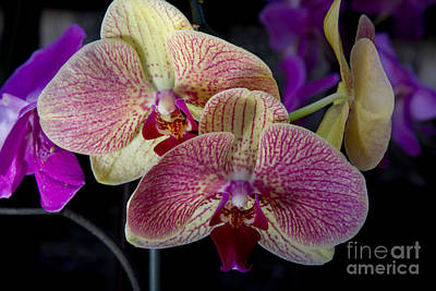 Photograph - Phalaenopsis Orchid 1 by Chris Scroggins