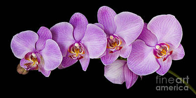 Nature Photograph - Phalaenopsis Orchid by Oscar Gutierrez
