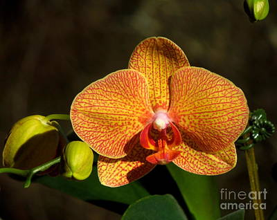Photograph - Phalaenopsis Orchid Yellow And Red by Renee Trenholm