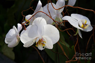 Photograph - Phalaenopsis Orchids 2 by Chris Scroggins