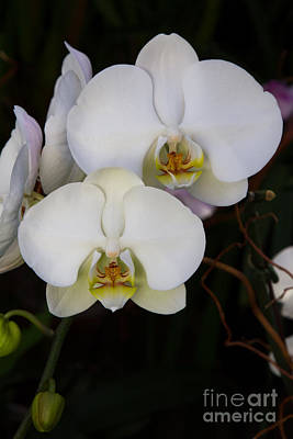 Photograph - Phalaenopsis Orchids 3 by Chris Scroggins
