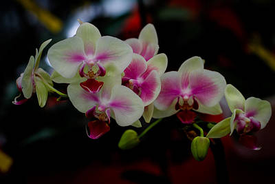 Phalaenopsis Pink Orchid Art Print by Donald Chen