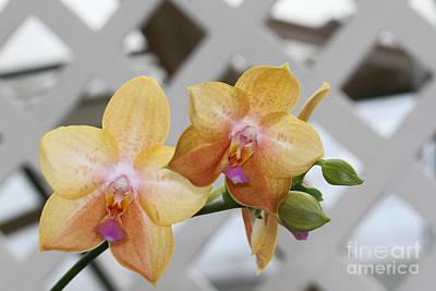 Beautiful Photograph - Phalaenopsis Sogo Lisa by Judy Whitton