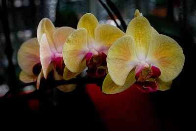 Phalaenopsis Yellow Orchid Art Print by Donald Chen