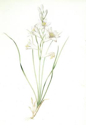 St Joseph Drawing - Phalangium Liliastrum by Artokoloro