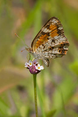 Photograph - Phaon On Phyla by Paul Rebmann