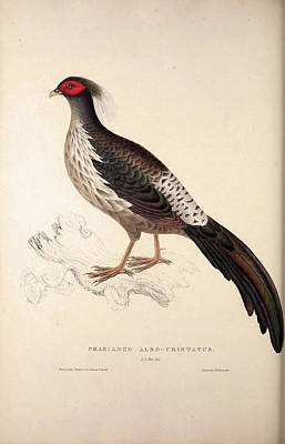 Exotic Drawing - Phasianus Albo-cristatus, Pheasant. Birds From The Himalaya by Quint Lox