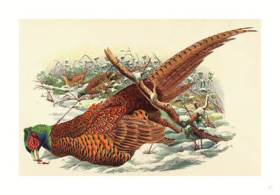 Pheasant Drawing - Phasianus Colchicus Ring-necked Pheasant by John Gould (1804-1881) And W. Hart (fl. 1851-1898), English (fl. 1851-1898), English