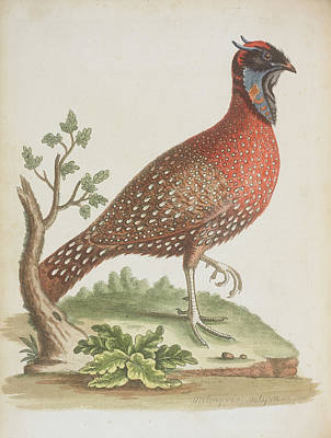 Pheasant Photograph - Pheasant by British Library