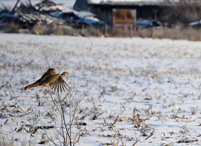 Photograph - Pheasant by Bonfire Photography