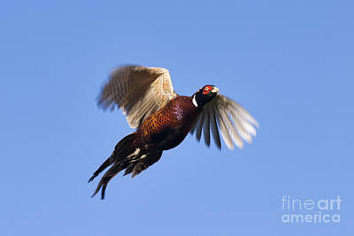 Photograph - Pheasant Flight - D002372 by Daniel Dempster