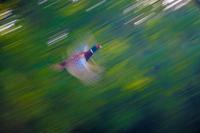 Pheasant Flight Art Print