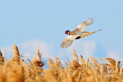 Photograph - Pheasant Fly By by Bill Singleton