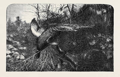 Pheasant Drawing - Pheasant Shooting by English School
